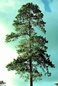 Red Pine (Norway)