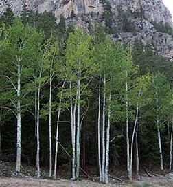 White Poplar (Quaking Aspen)